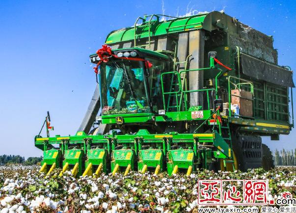 又到棉花丰收季 新疆棉花种植面积占全国80%