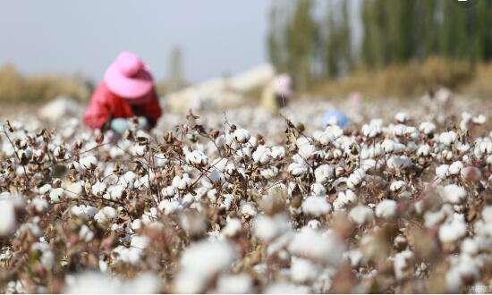 2018/19年度印度棉花产量同比预计大幅下降